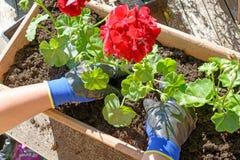 Frauenmann, der die Pelargonien für Sommergarten pflanzt Lizenzfreies Stockfoto