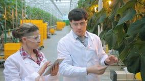 Frauenmannfunktions-Kontrolleaubergine im Gewächshaus auf Inhalt von Chemikalien stock video