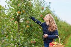 Frauensammelnäpfel im Korb auf Bauernhof Stockfotografie