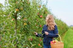 Frauensammelnäpfel im Korb auf Bauernhof Lizenzfreie Stockbilder