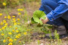 Frauensammeln clotsfoot Blätter für das Trocknen Lizenzfreies Stockfoto