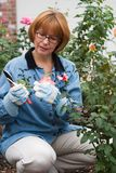 Frauenschnittrosen im Garten Stockfotografie