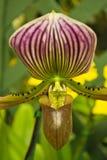 Frauenschuh Orchidee Lizenzfreie Stockfotografie