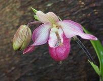 Frauenschuh-Orchidee Lizenzfreie Stockbilder