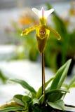Frauenschuh-Orchidee Gelbgrün- Stockfotografie