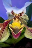 Frauenschuhorchidee Stockbilder