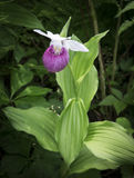 Frauenschuhorchidee Stockfoto