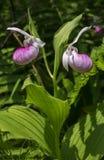 Frauenschuhorchidee Lizenzfreies Stockfoto