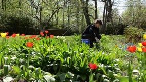 Frauensorgfaltfrühlings-Tulpenblumen im Hinterhof stock footage
