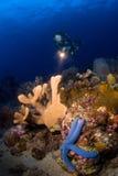 Frauentaucher, der über Riff zeigt. Indonesien Sulawesi Stockfotos
