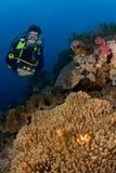 Frauentaucher hinter großer Anemone und weicher Koralle. Indonesien Sulawesi Lembehstreet Lizenzfreie Stockfotos