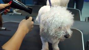 Frauentierarzt trocken der nass Pelz des Hundes in der Veterinärklinik stock footage