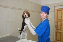 Frauentierarzt und kleiner Hund. Stockfotografie
