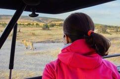 Frauentourist im Safariauto in Afrika, in aufpassender Löwin und in den afrikanischen Savannenwild lebenden tieren Lizenzfreies Stockfoto
