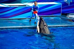 Frauentrainer, der dem Killerwal Fische im Eis bei Seaworld gibt lizenzfreies stockbild