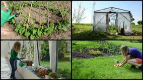 Frauenwasserkaktus-Blumenbohnen und Tomatenpflanze Videocollage stock footage