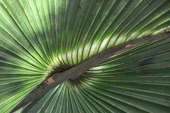Frawn della palma fotografia stock libera da diritti