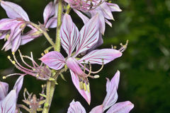 Fraxinella 1 λουλουδιών Στοκ φωτογραφία με δικαίωμα ελεύθερης χρήσης