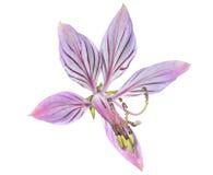 Fraxinella 9 цветка стоковые фотографии rf