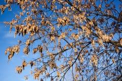 Fraxinus excelsior, European Ash Stock Photos