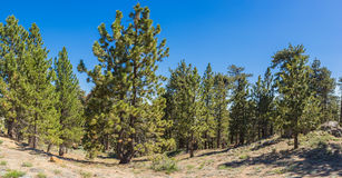 Frazier Park Mountain Pines Royalty Free Stock Images