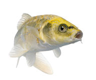 Färben Sie Koi ogon- Cyprinus Carpio gelb Lizenzfreie Stockfotografie