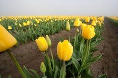 Färben Sie Tulpereihe gelb Stockbild