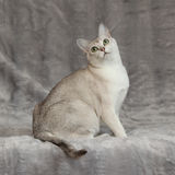 Förbluffa Burmilla framme av silverfilten Arkivfoto