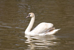Fördelande vingar för vit swan Arkivfoto