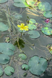 Frędzlasty grążel, Żółty floatingheart lub woda kraniec, (Nympho Zdjęcia Stock