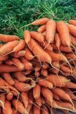 Freah-Karotten Lizenzfreie Stockfotografie