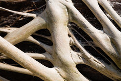 Freakish roots of a tree outdoors Royalty Free Stock Photography