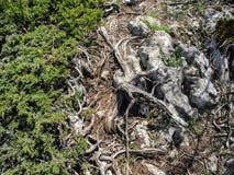 Freakish wriggling root on quaint stone. Green coniferous bush near the trail.  royalty free stock photos