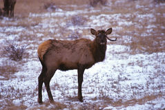 Freaky Bull Elk in Winter Stock Photos