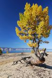 Freaky larch tree Royalty Free Stock Image