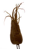 Freaky Parsnip Roots Stock Photos