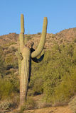 Freaky Saguaro Cactus Stock Photos