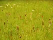 Freash green grass in the evening meadow, short stalk Royalty Free Stock Photos