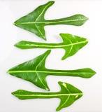 Freccia di belle foglie verdi Immagini Stock Libere da Diritti