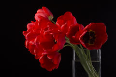 Frech beautiful red tulips. On black Royalty Free Stock Images