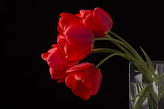 Frech beautiful red tulips. Isolated on black Stock Image
