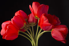 Frech beautiful red tulips. Frech beautiful red tulip isolated on black Royalty Free Stock Image