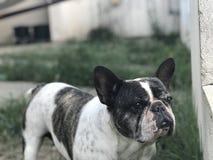 Frech bulldogg Royaltyfria Foton