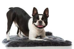 Frechbuldog met Stock Foto