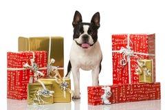 Frechbuldog met Kerstmisdecoratie Stock Foto's