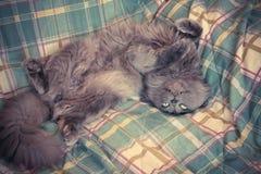 Freche graue Katze, die auf dem Bett sich aalt Lügentatzen der Katze oben auf so Stockfoto
