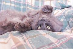 Freche graue Katze, die auf dem Bett sich aalt Lügentatzen der Katze oben auf so Stockfotografie