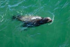 Frecher Blick des Seelöwes stockfoto