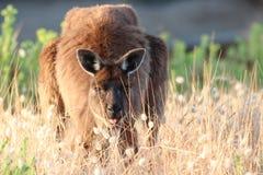 Frecher Känguru Stockfotos