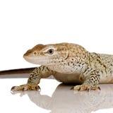 freckled монитор ящерицы Стоковая Фотография RF
